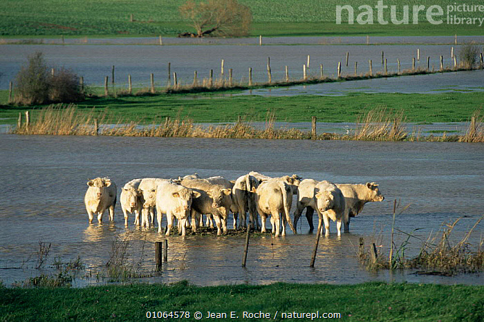 Cattle in flooded Seille plain, Lorraine Regional Park, France, ARTIODACTYLA,EUROPE,FARMLAND,flooding,floods,FRANCE,GROUPS,LIVESTOCK,MAMMALS,RIVERS,wading, Jean E. Roche