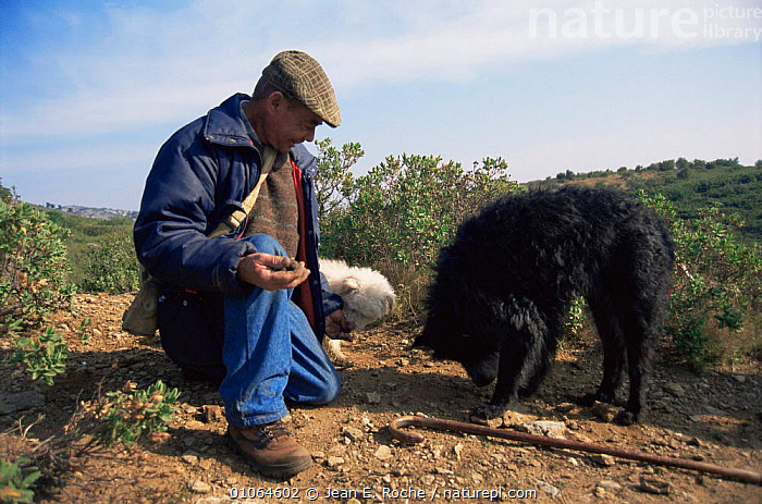 Man out searching for truffles with dogs, Gard, France, Dog,EDIBLE,EUROPE,FRANCE,FUNGI,FUNGUS,PEOPLE,PETS,TRADITIONAL, Jean E. Roche