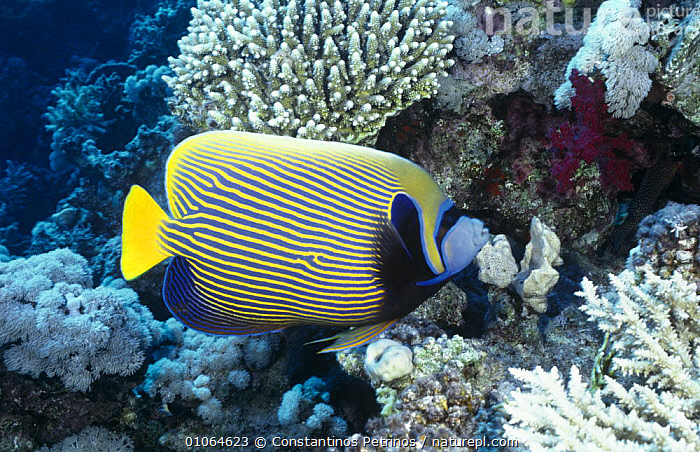 Emperor Angelfish (Pomecanthus Imperator) Red Sea, Egypt, BUTTERFLYFISH,COLOURFUL,CORAL REEFS,FISH,MARINE,NORTH AFRICA,OSTEICHTHYES,PROFILE,UNDERWATER,VERTEBRATES,Africa, Constantinos Petrinos