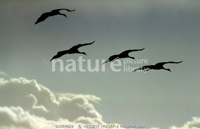 Common cranes silhouetted in sky {Grus grus} Camargue, south east France, BIRDS,CLOUDS,CRANES,EUROPE,FRANCE,GROUPS,HORIZONTAL,SILHOUETTES,SKY,VERTEBRATES,VERTICAL,WADERS,WADING BIRDS,Weather,Catalogue1, VINCENT MUNIER