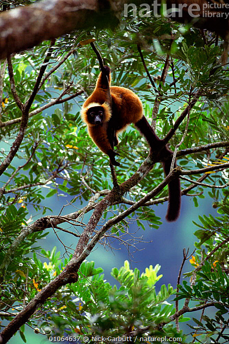 Red ruffed lemur {Varecia variegata ruber} in tree, Masoala NP. NE Madagascar., HABITAT,ARBOREAL,NATURE PRODUCTIONS,BRANCHES,PRIMATES,NP,MADAGASCAR,VERTICAL,LEMURS,MAMMALS,TREES,Plants,National Park, Nick Garbutt