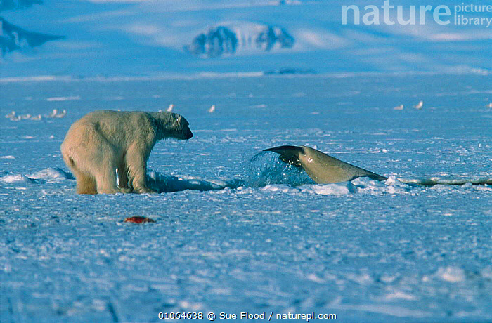 Polar bear attempting to catch beluga whale at breathing hole. Whale is trapped - too far away from open sea. Canadian Arctic, ACTION,ARCTIC,BELUGA,CANADA,CARNIVORES,FLUKE,FLUKES,HOLE,HORIZONTAL,HUNTING,ICE,MAMMALS,PREDATION,SAVSSAT,SF,SUE,TAILS,TO,TRAPPED,WHALE,WHALES,NORTH AMERICA,BEHAVIOUR, Sue Flood