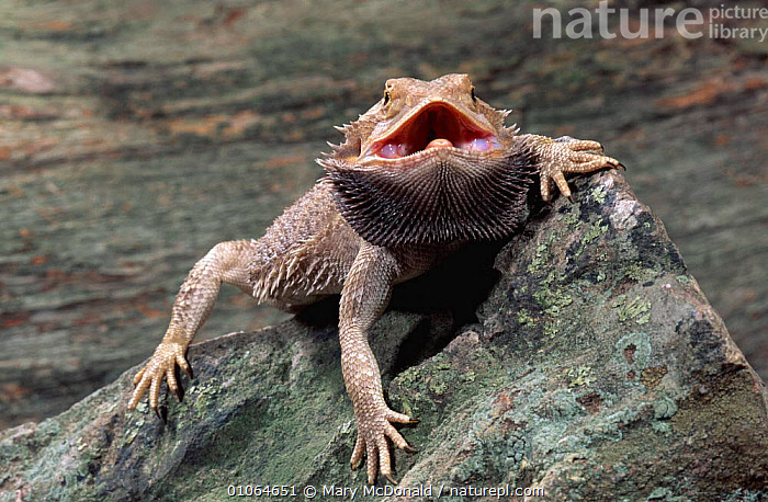 Bearded lizard / dragon {Amphibolumus barbatus} threat display, Australia. Captive, AGAMAS, AGGRESSION, AUSTRALIA, LIZARDS, PETS, REPTILES, VERTEBRATES, Mary McDonald