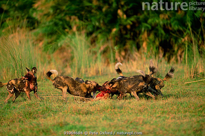 African wild dogs on kill {Lycaon pictus} Okavango, Botswana, Africa., SCAVENGING,SOUTHERN AFRICA,PACKS,CARNIVORES,MAMMALS,EATING,FEEDING,DELTA,AFRICA,CARCASS,CANINES,GROUPS,Dogs,Canids, Pete Oxford
