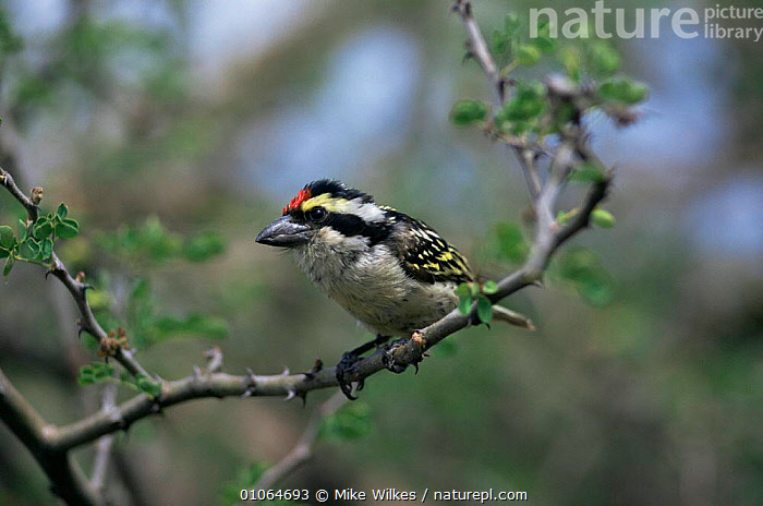 Red fronted barbet {Tricholaema diadematum} perching on branch, Tanzania., AFRICA,BARBETS,BIRDS,EAST AFRICA,HORIZONTAL,PROFILE,RED,VERTEBRATES,VERTICAL, Mike Wilkes