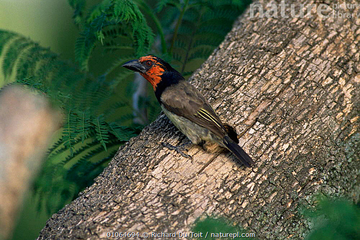 Black collared barbet {Lybius torquatus} at nest hole, Natal, South Africa., AFRICA,BARBETS,BIRDS,HORIZONTAL,NESTS,SOUTHERN AFRICA,VERTEBRATES,VERTICAL, Richard Du Toit