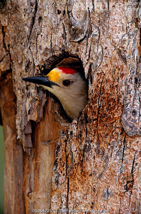 Golden fronted woodpecker {Melanerpes aurifrons} looking out of  nest hole, Texas, USA, BIRDS,NESTS,TREES,TRUNKS,USA,VERTEBRATES,VERTICAL,WOODPECKERS,North America,Plants, Tom Vezo