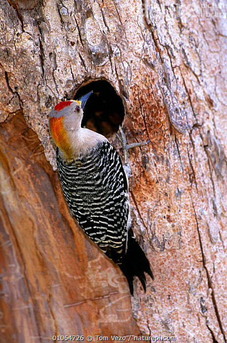 Golden fronted woodpecker at nest hole. Texas, USA {Melanerpes aurifrons}, BIRDS,NESTS,TREES,TRUNKS,USA,VERTEBRATES,VERTICAL,WOODPECKERS,North America,Plants, Tom Vezo