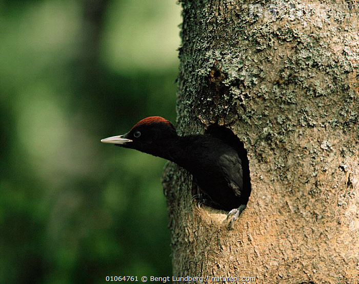 Young Black woodpecker looking out of nest hole {Dryocopus martius} Sweden, BIRDS,EUROPE,NESTS,SWEDEN,TREES,TRUNKS,VERTEBRATES,VERTICAL,WOODPECKERS,Scandinavia,Plants, Bengt Lundberg