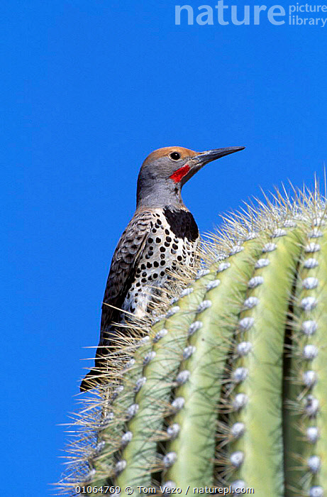 Northern flicker male on cactus {Colaptes auratus} Arizona, USA. Red shafted race, BIRDS,CACTI,DESERTS,MALES,PLANTS,USA,VERTEBRATES,VERTICAL,WOODPECKERS,North America, Tom Vezo