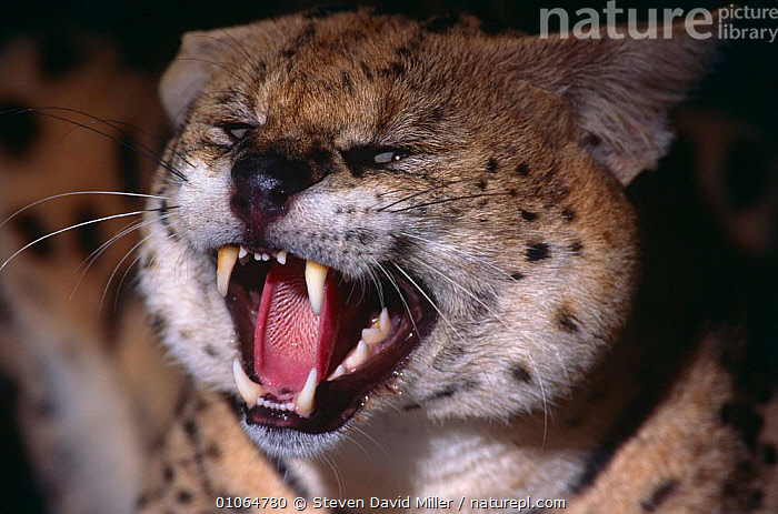 Serval snarling {Felis serval} captive, Florida zoo, USA, AGGRESSION,BEHAVIOUR,CARNIVORES,CATS,MAMMALS,TEETH,USA,VERTEBRATES,ZOOS,North America,Concepts, Steven David Miller