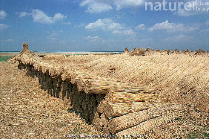 Reeds harvested for thatching lay ready to be exported from the Danube Delta, Romania, AQUATIC,CROPS,EUROPE,Export,HARVESTING,LANDSCAPES,PLANTS,reeds,TRADE,TRADITIONAL,WETLANDS, Michael Pitts