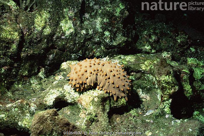 Brown sea cucumber {Isostichopus fuscus} Bartolome Island, Galapagos Islands, ECHINODERMS,GALAPAGOS,HOLOTHURIDEA,HORIZONTAL,INVERTEBRATES,MARINE,ROCKS,SEA CUCUMBERS,SOUTH AMERICA,UNDERWATER,WEIRD, Pete Oxford