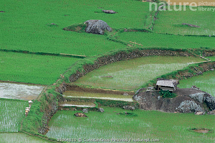 Looking down onto rice fields and small barn landscape, Central Sulawesi, Indonesia, AGRICULTURE,ASIA,BUILDINGS,CULTURES,INDONESIA,LANDSCAPES,SMALL,SOUTH EAST ASIA,TRADITIONAL,SOUTH-EAST-ASIA, Constantinos Petrinos