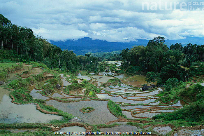 Flooded Rice paddy fields, Central Sulawesi, Indonesia, AGRICULTURE,CPE,CROPS,FARMLAND,FIELDS,HILLS,HILLSIDES,HORIZONTAL,LANDSCAPE,MOUNTAINS,RICE,STEEP,TERRACES,TERRACING,TRADITIONAL,TREES,WATER,PLANTS,SOUTH-EAST-ASIA,INDONESIA, Constantinos Petrinos