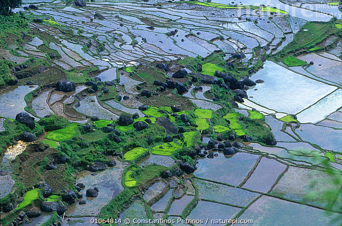 Rice paddy fields, Central Sulawesi, Indonesia, AERIAL,AGRICULTURE,ASIA,CENTRAL,CLOUDS,CONSTANTINO,CPE,CROPS,FARMLAND,FIELDS,HILLS,HILLSIDES,HORIZONTAL,LINES,LOOKING,PADDY,PATTERNS,PETRINOS,PLANTS,RICE,TERRACES,TRADITIONAL,TREES,WATER,WEATHER ,AERIALS,SOUTH-EAST-ASIA,INDONESIA, Constantinos Petrinos