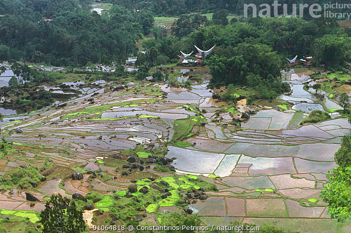 Landscape looking down onto rice paddy fields, Central Sulawesi, Indonesia, AGRICULTURE,ASIA,BUILDINGS,CROPS,FARMLAND,INDONESIA,LANDSCAPES,PATTERNS,SOUTH EAST ASIA,TRADITIONAL,WATER,SOUTH-EAST-ASIA, Constantinos Petrinos