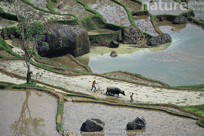 Aerial view of Farmers using Water buffalo {Bubalus arnee} to plough flooded rice fields, Central Sulawesi, Indonesia, 2000., ABSTRACT,AERIALS,AGRICULTURE,ARTIODACTYLA,ASIA,CROPS,CULTURES,HORIZONTAL,INDONESIA,LANDSCAPES,MAMMALS,PATTERNS,PEOPLE,SOUTH EAST ASIA,TRADITIONAL,WATER,SOUTH-EAST-ASIA, Constantinos Petrinos