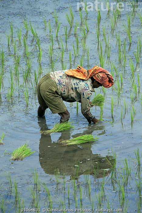 Man planting rice in rice field, Central Sulawesi, Indonesia 2000., AGRICULTURE,ASIA,CROPS,CULTURES,GREEN,INDONESIA,MAN,PEOPLE,PLANTS,SOUTH EAST ASIA,TRADITIONAL,VERTICAL,WATER,WORKING,SOUTH-EAST-ASIA, Constantinos Petrinos