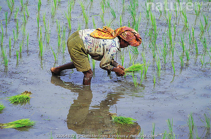 Man planting rice in paddy field, Central Sulawesi, Indonesia 2000.  ,  AGRICULTURE,ASIA,CPE,CROPS,FIELD,GREEN,HORIZONTAL,MAN,PEOPLE,PLANTS,RICE,TRADITIONAL,WATER,WORKING,SOUTH-EAST-ASIA,INDONESIA  ,  Constantinos Petrinos