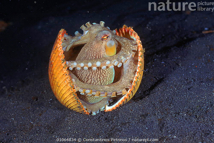 Veined octopus inside shell {Octopus marginatus}, Lembeh Strait, N Sulawesi, Indonesia. Shells are found in the seabed and dug up and cleaned by octopus, which then climbs inside for protection., HORIZONTAL,INSIDE,UNDERWATER,CEPHALOPODS,PETRINOS,SULAWESI,INDONESIA,LEMBEH,SHELLS,STRAIT,CONSTANTINO,HUMOROUS,MARINE,OCTOPUS,NORTH,SHELL,CPE,INTERESTING,BIZARRE,ASIA,CONCEPTS,INVERTEBRATES, MOLLUSCS, Constantinos Petrinos