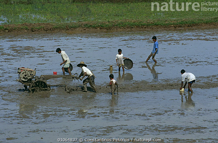 Farm workers with tractor preparing rice field for planting rice, Central Sulawesi, Indonesia. 2000., AGRICULTURE,ASIA,CHILDREN,CROPS,FARMLAND,FISH,INDONESIA,INTERESTING,MACHINERY,PEOPLE,PLANTS,SIX,SOUTH EAST ASIA,VEHICLES,WATER,SOUTH-EAST-ASIA, Constantinos Petrinos