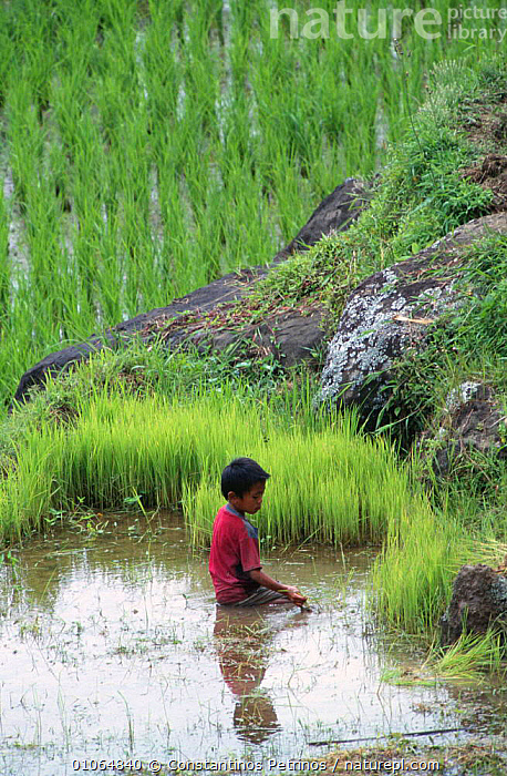 Boy working in rice field, Central Sulawesi, Indonesia  2000., PEOPLE,VERTICAL,LANDSCAPES,TRADITIONAL,CHILDREN,LONELY,YOUNG,WATER,AGRICULTURE,CHILD,CROPS,PLANTS,CONSTANTINO,SOUTH-EAST-ASIA,INDONESIA, Constantinos Petrinos