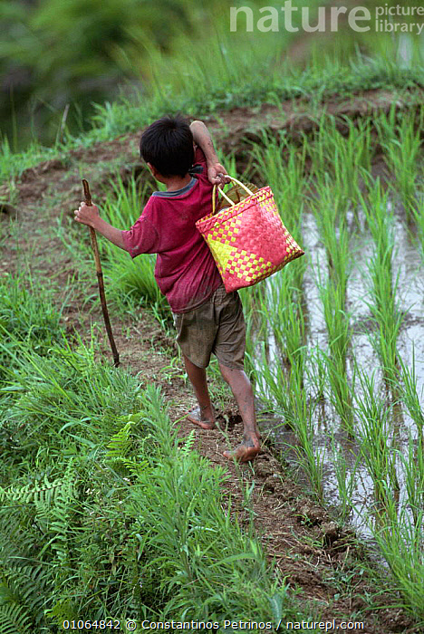 Young boy working in rice fields carrying lunch box, Central Sulawesi, Indonesia 2000.  ,  AGRICULTURE,ASIA,BOYS,CHILD,CHILDREN,CROPS,INDONESIA,JUVENILE,PADDY,PEOPLE,RURAL,SOUTH EAST ASIA,TRADITIONAL,VERTICAL,WATER,WETLANDS,WORKING,YOUNG,SOUTH-EAST-ASIA  ,  Constantinos Petrinos