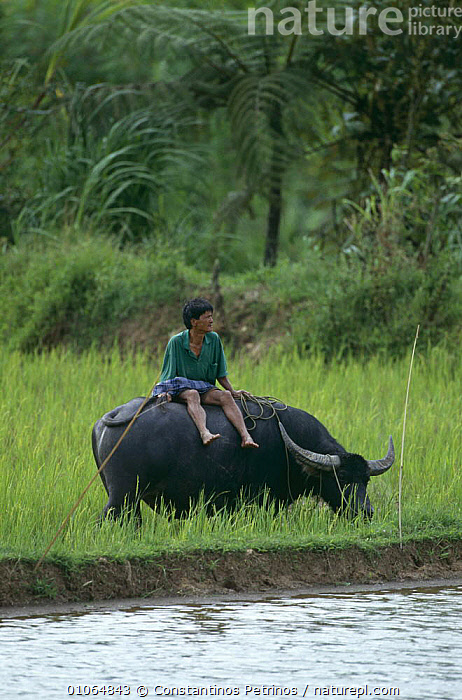 Farmer sitting on Water buffalo {Bubalus arnee} in rice field, Central Sulawesi, Indonesia 2000., AGRICULTURE,ASIA,CROPS,FARMLAND,INDONESIA,LIVESTOCK,MAMMALS,PEOPLE,SITTING,SOUTH EAST ASIA,TRADITIONAL,VERTICAL,WATER,SOUTH-EAST-ASIA, Constantinos Petrinos