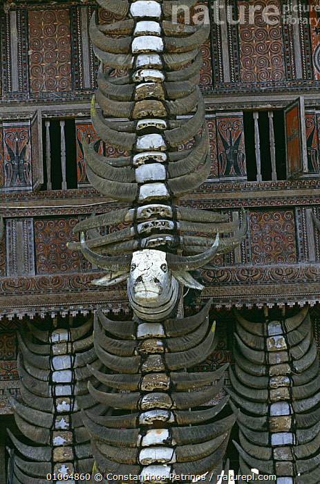 Main pillar of a Tongkonan house facade with Buffalo horns from past sacrifices Central Sulawesi, Indonesia., ASIA,BONES,BUILDINGS,CULTURES,DEATH,HOMES,HORNS,INDONESIA,SKULL,SOUTH EAST ASIA,TRADITIONAL,TRIBES,VERTICAL,SOUTH-EAST-ASIA, Constantinos Petrinos