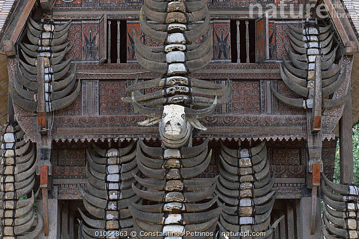 Main pillar of a Tongkonan with Buffalo horns from past sacrifices C Sulawesi, Indonesia  ,  BUFFALO,MAMMALS,ARTIODACTYLA,CENTRAL,HOMES,HORNS,CONSTANTINO,CEREMONIAL,PETRINOS,INTERESTING,PILLAR,TRADITIONAL,CULTURES,PAST,TRIBES,HORIZONTAL,WOOD,BUILDINGS,CPE,SACRIFICES,TONGKONAN,DECORATION,MAIN,SOUTH-EAST-ASIA,INDONESIA  ,  Constantinos Petrinos