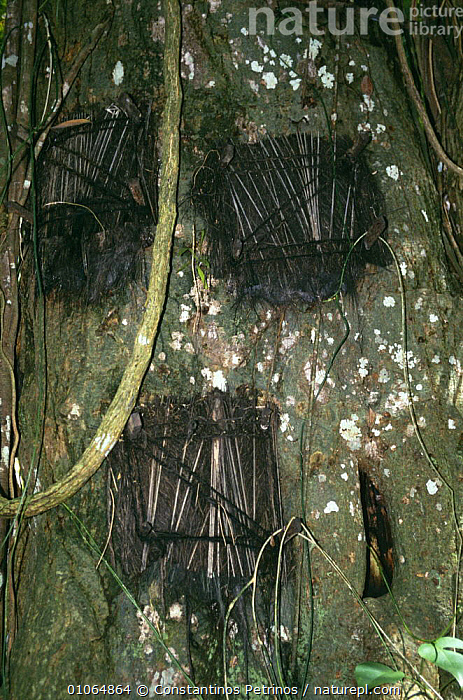 'Tree grave' for deceased infants, Tana Toraja, Central Sulawesi, Indonesia., ASIA,BARK,BURIAL,CULTURES,DEATH,INDONESIA,SOUTH EAST ASIA,TRADITIONAL,TREES,TRIBES,VERTICAL,Plants,SOUTH-EAST-ASIA, Constantinos Petrinos