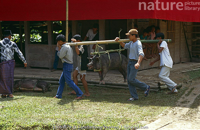 Pig tied on bamboo to be offered as sacrifice at Toraja funeral ceremony, Central Sulawesi, Indonesia 2000., ASIA,CRUELTY,CULTURES,INDONESIA,MAMMALS,PEOPLE,POPULATION,SOCIAL BEHAVIOUR,SOUTH EAST ASIA,TRADITIONAL,SOUTH-EAST-ASIA, Constantinos Petrinos