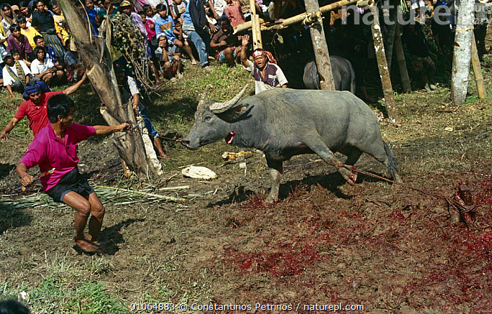 Buffalo being slaughtered during Toraja funeral ceremony, Central Sulawesi, Indonesia 2000., ARTIODACTYLA,ASIA,CULTURES,DEATH,INDONESIA,MAMMALS,PEOPLE,POPULATION,SOCIAL BEHAVIOUR,SOUTH EAST ASIA,TRADITIONAL,TRIBES,SOUTH-EAST-ASIA, Constantinos Petrinos
