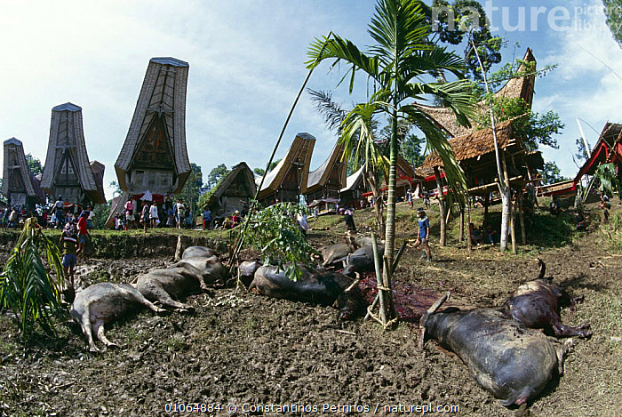 Buffalos slaughtered during Toraja funeral ceremony, Central Sulawesi, Indonesia 2000., ARTIODACTYLA,ASIA,BUFFALOS,CULTURES,DEATH,GROUPS,INDONESIA,MAMMALS,PEOPLE,SOCIAL BEHAVIOUR,SOUTH EAST ASIA,TRADITIONAL,TRIBES,SOUTH-EAST-ASIA, Constantinos Petrinos