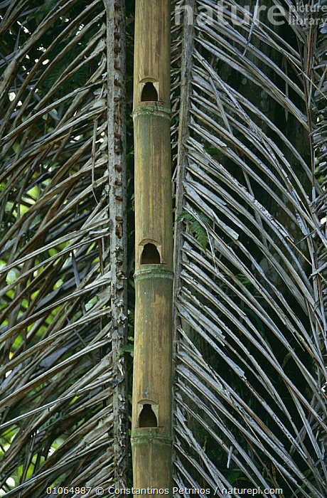 Bamboo ladder, Central Sulawesi, Indonesia, ASIA,CULTURES,INDONESIA,PLANTS,SOUTH EAST ASIA,STEPS,VERTICAL,SOUTH-EAST-ASIA, Constantinos Petrinos