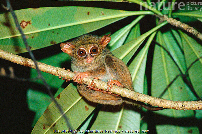 Spectral tarsier {Tarsius tarsier / spectrum / fuscus} portrait, North Sulawesi, Indonesia, ASIA,BRANCHES,CUTE,ENDANGERED,EYES,HORIZONTAL,INDONESIA,MAMMALS,NIGHT,NOCTURNAL,PLANTS,PORTRAITS,PRIMATES,TARSIERS,TARSIIDAE,TARSIUS SPECTRUM,TREES,VERTEBRATES,Vulnerable, Constantinos Petrinos