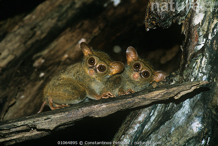 Two Spectral tarsiers {Tarsius tarsier / spectrum / fuscus} looking down from tree, North Sulawesi, Indonesia, Vulnerable species, ENDANGERED,EYES,LOW ANGLE SHOT,MAMMALS,NIGHT,PRIMATES,TARSIERS,TARSIIDAE,TARSIUS SPECTRUM,TROPICAL RAINFOREST,VERTEBRATES,Vulnerable,Asia, Constantinos Petrinos