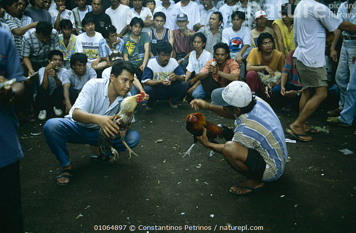 Illegal Cock fighting 'game', Northern Sulawesi, Indonesia.