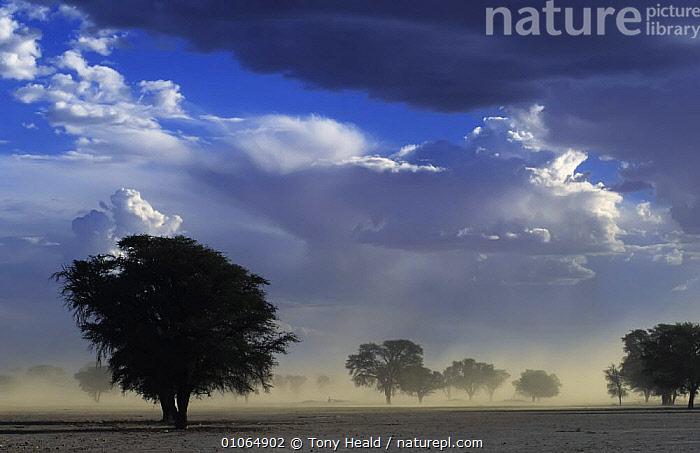 Dust storm Kalahari Gemsbok NP South Africa, summer, AFRICA,LANDSCAPES,PLANTS,SKIES,SKY,SOUTHERN AFRICA,STORMS,TREES,WEATHER ,Kgalagadi,Transfrontier,Catalogue1, Tony Heald