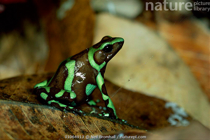Poison Arrow frog {Dendrobates auratus} Panama, FEMALES,GREEN,FROGS,AURATUS,CENTRAL AMERICA,AMPHIBIANS,CLOSE UPS,Anura, Neil Bromhall