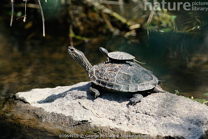 Caspian terrapin (Mauremys caspica) carrying young on shell Lesvos, Greece, ADULTS,EUROPE,GMA,GREECE,HORIZONTAL,JUVENILES,LESBOS,REPTILES,WATER,WETLANDS,YOUNG,CHELONIA, TERRAPINS, George McCarthy