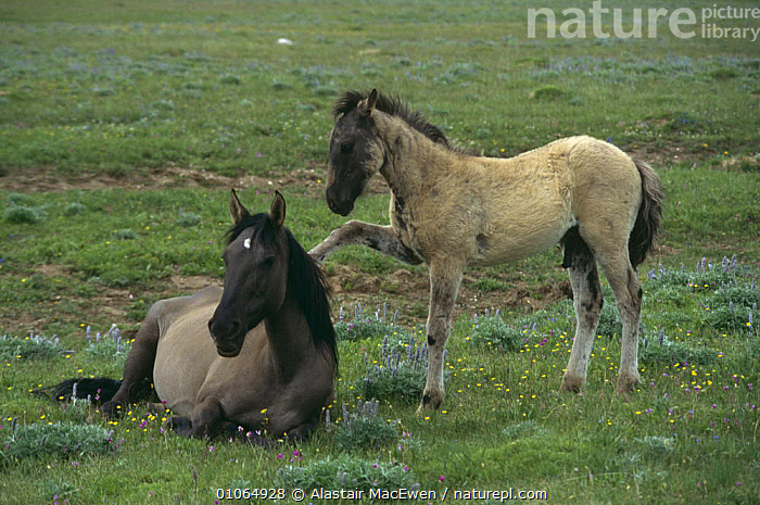 Young foal Mustang begging mother for milk {Equus caballus} USA, BABIES,BEHAVIOUR,FEEDING,FEMALES,FOALS,HORSES,JUVENILE,MAMMALS,MOTHER,NORTH AMERICA,PERISSODACTYLA,SOCIAL BEHAVIOUR,USA,VERTEBRATES,YOUNG,Equines, Alastair MacEwen