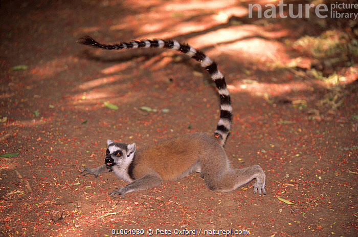 Ring-tailed lemur lying down on ground to cool off {Lemur catta}, Berentry Reserve, Madagascar, BEHAVIOUR,COOLING,CUTE,ENDANGERED,ENDEMIC,LEMURS,MADAGASCAR,MAMMALS,PATTERNS,PRIMATES,RESERVE,TAILS,THERMOREGULATION,VERTEBRATES, Pete Oxford
