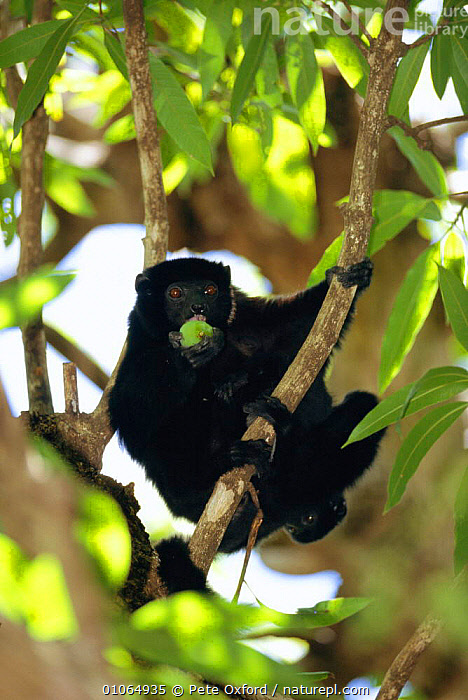 Perriers sifaka eating fruit in tree {Propithecus diadema perrieri}, Analamera National Park, Madagascar, ANALAMERA,BLACK,BRANCHES,FEEDING,FOREST,FRUIT,LEAVES,MADAGASCAR,MAMMALS,PO,PRIMATES,TREES,VERTICAL,PLANTS,LEMURS, Pete Oxford