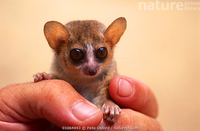 Russet mouse lemur held in hand {Microcebus rufus} captive, Kirindy Dry Forest Reserve, Madagascar, CUTE,EARS,EYES,HANDS,LEMURS,MADAGASCAR,MAMMALS,PRIMATES,RESERVE,SIZE,SMALL,VERTEBRATES, Pete Oxford