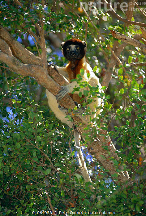 Crowned sifaka {Propithecus verreauxi coronatus} in tree Katsepy Reserve, Madagascar, FOREST,MADAGASCAR,MAMMALS,PO,PRIMATES,RESERVE,TREES,TROPICAL DRY FOREST,VERTICAL,PLANTS,LEMURS, Pete Oxford