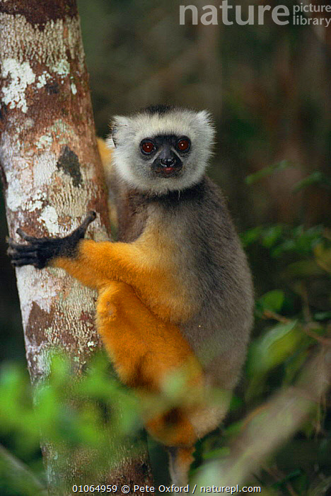 Diademed Sifaka portrait {Propithecus diadema diadema} in tree Mantady National Park, Madagascar, CLIMBING,MADAGASCAR,MAMMALS,MANTADY,NP,ONE,PO,PRIMATES,RESERVE,TREES,TROPICAL RAINFOREST,VERTICAL,PLANTS,NATIONAL PARK,LEMURS, Pete Oxford
