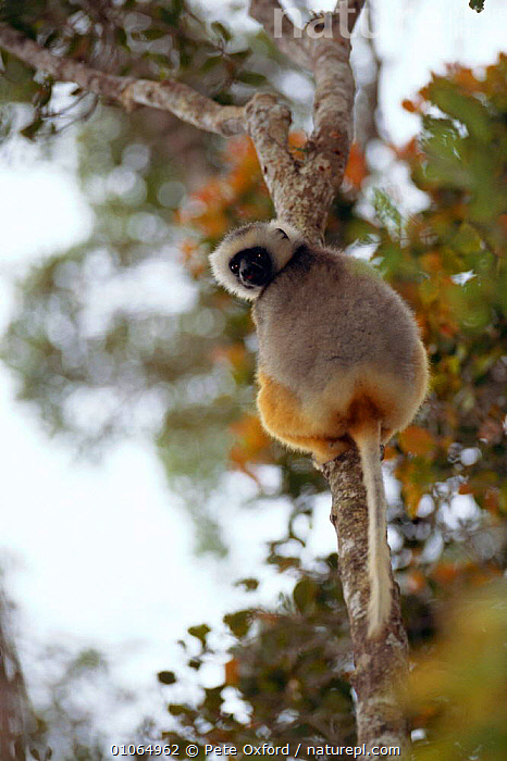 Diademed Sifaka {Propithecus diadema diadema} Mantady National Park, Madagascar, CUTE,FOREST,MADAGASCAR,MAMMALS,MANTADY,NP,PO,PRIMATES,TREES,TROPICAL RAINFOREST,VERTICAL,PLANTS,NATIONAL PARK,LEMURS, Pete Oxford