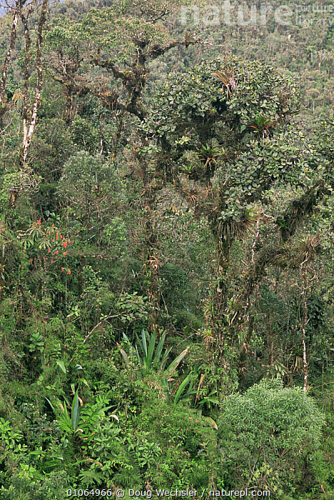 Cloud forest habitat at 2500ft, Clusia in Andes, Zamora- Chinchipe, Ecuador, CLOUD FOREST,FORESTS,HABITAT,LANDSCAPES,PLANTS,SOUTH AMERICA,TREES,VERTICAL, Doug Wechsler